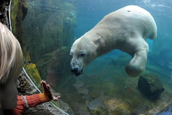 Eisbär - Botschafter des Klimawandels
